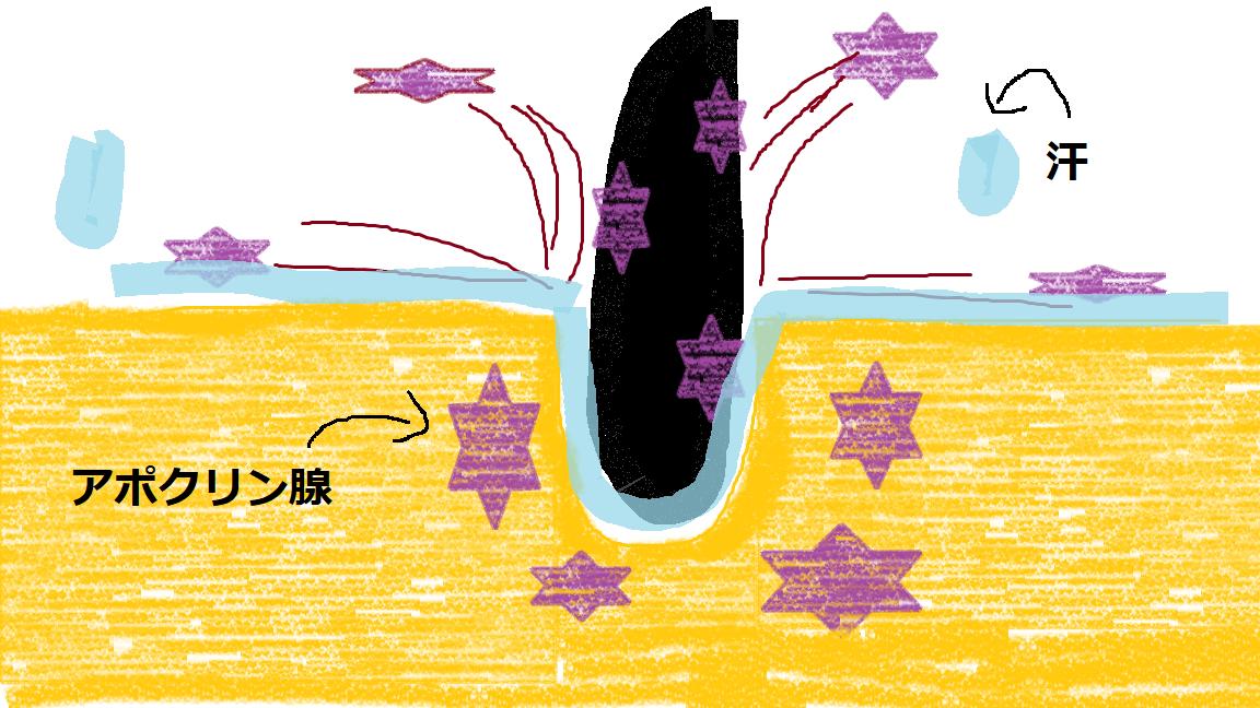 アポクリン腺とにおいの関係を示した図