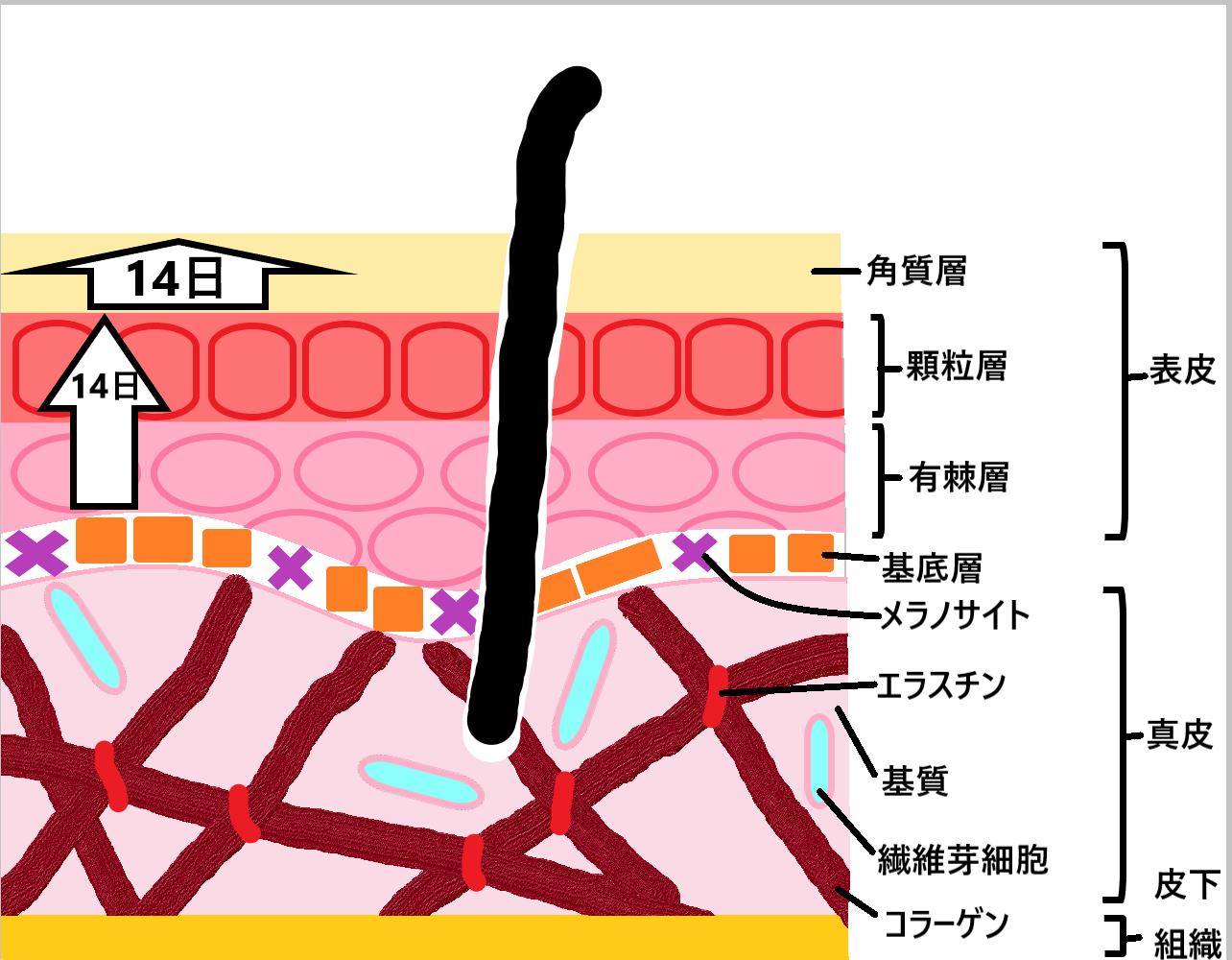 肌のターンオーバーを示した図